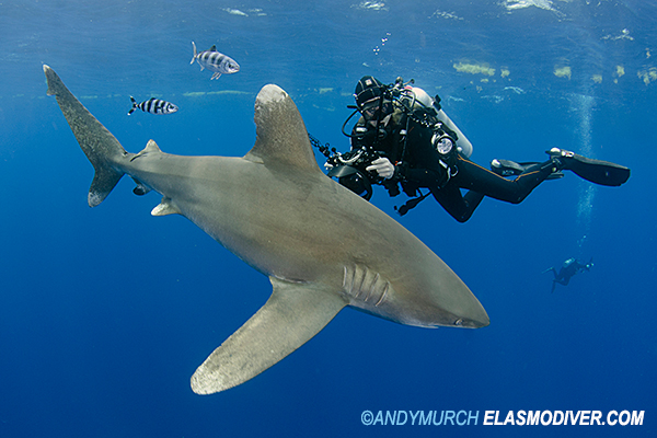 Oceanic Whitetip 4