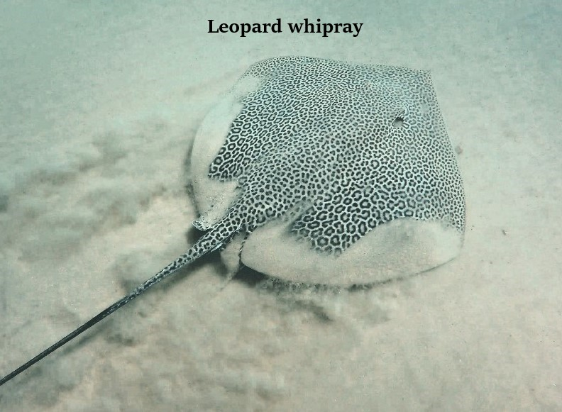 Three Whiprays 2