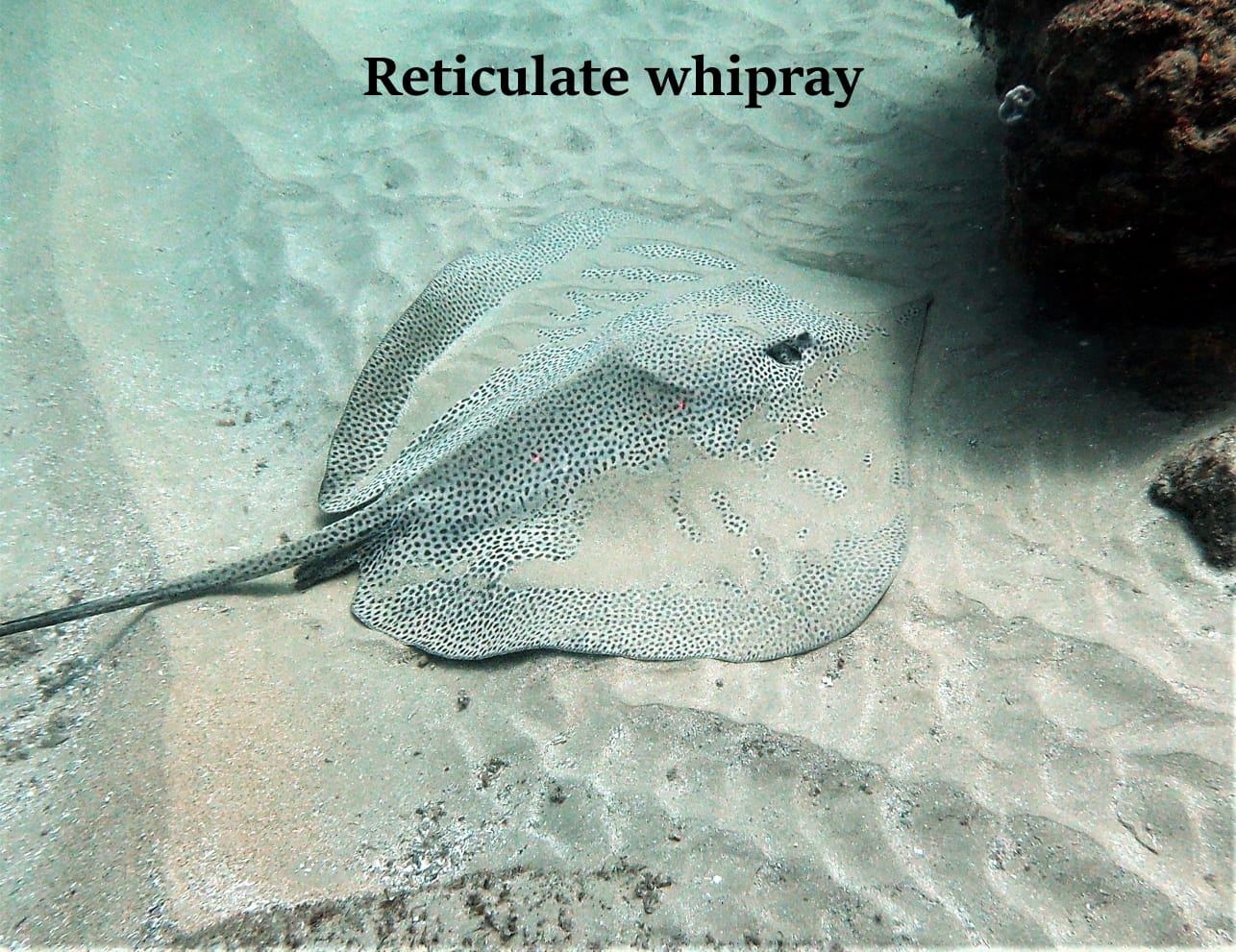 Three Whiprays 3